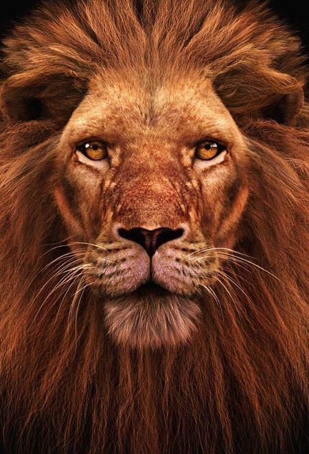Massimorighi lions head color ver a086455a ntbh