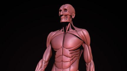 Anatomy Studies