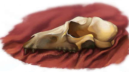 Canine skull study