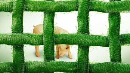 Pig_Ropes