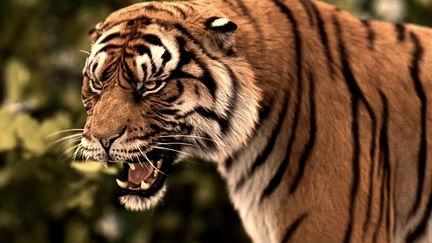 Tiger roaring short clip