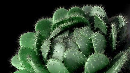 Cactusos