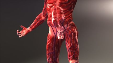 Flayed anatomy study #1